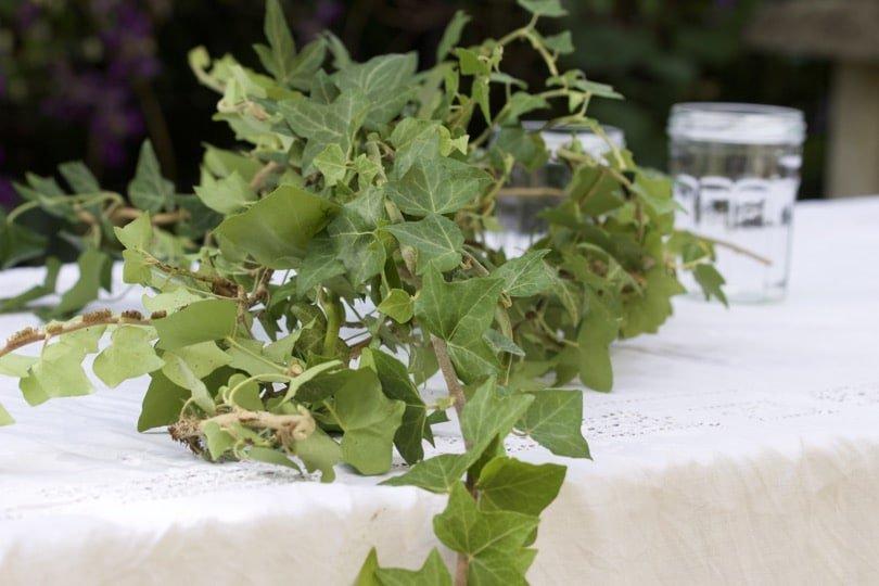 Lierre pour une table d'été romantique au jardin.