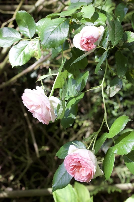 Roses Pierre de Ronsard pour une table d'été romantique au jardin.