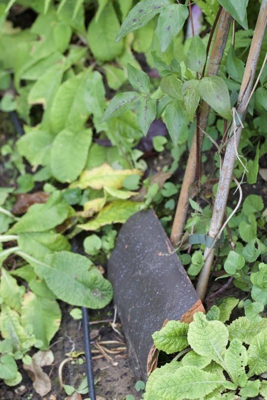 Protéger le pied des clématites avec une tuile pour garder la fraîcheur.