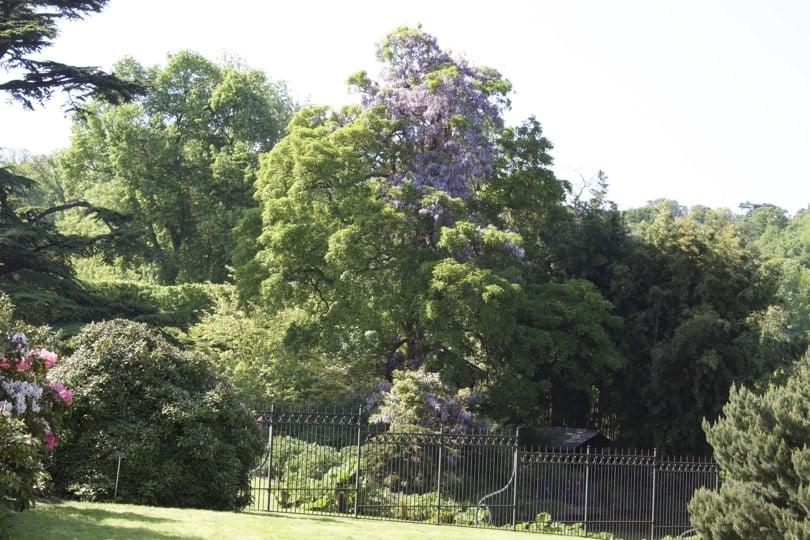 Quand la glycine devient un arbre de l'arboretum de la Vallée-aux-Loups.