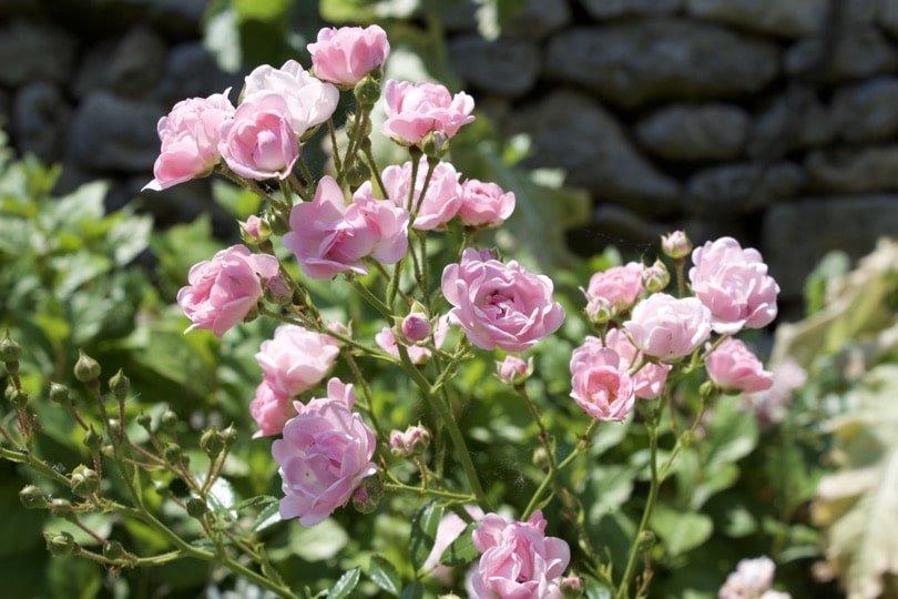 Roses à l'entrée des jardins du château d'Ambleville