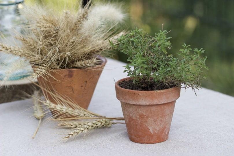 Sarriette en pot pour réaliser une table d'été champêtre.