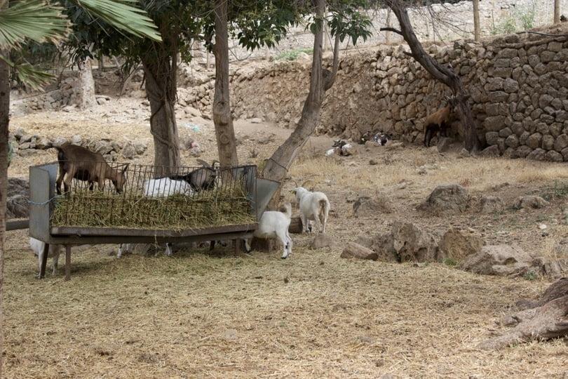 Chèvres des jardins d'Alfàbia à Majorque
