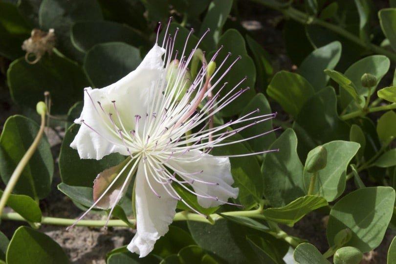 Fleur accrochée à la muraille d'Alcudia à Majorque.