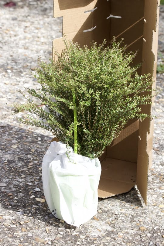 Chèvrefeuille Lonicera nitida livré par Globe planter, une alternative au buis.