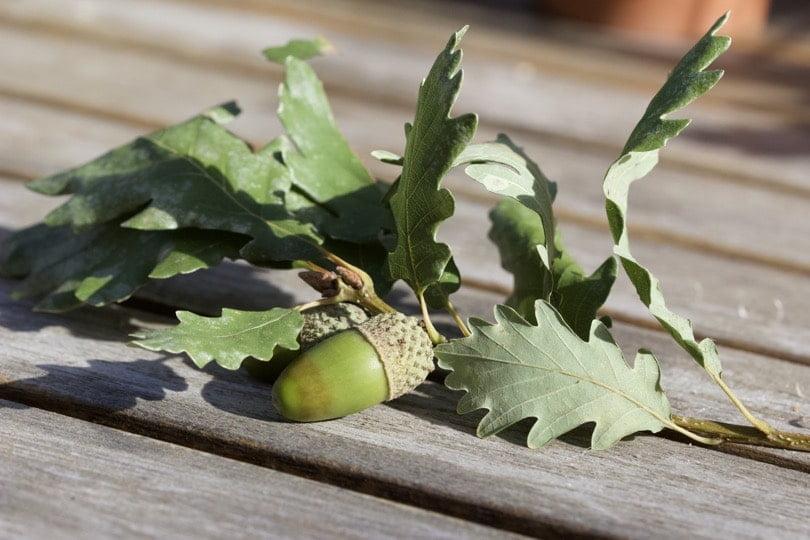 Les glands, fruits d'automne pour ma décoration au jardin.
