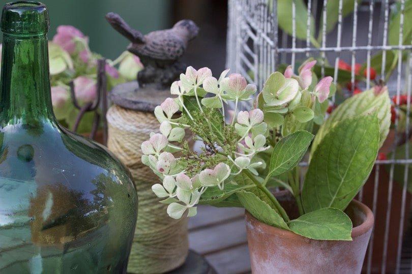 Des bouquets d'hortensia pour le jardin.