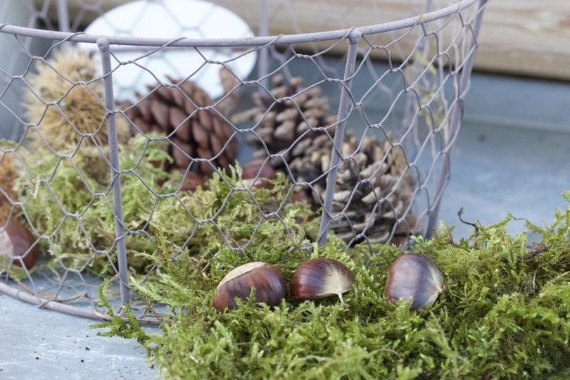 Mousse et châtaignes pour préparer un centre de table aved des bougies pour l'Avent