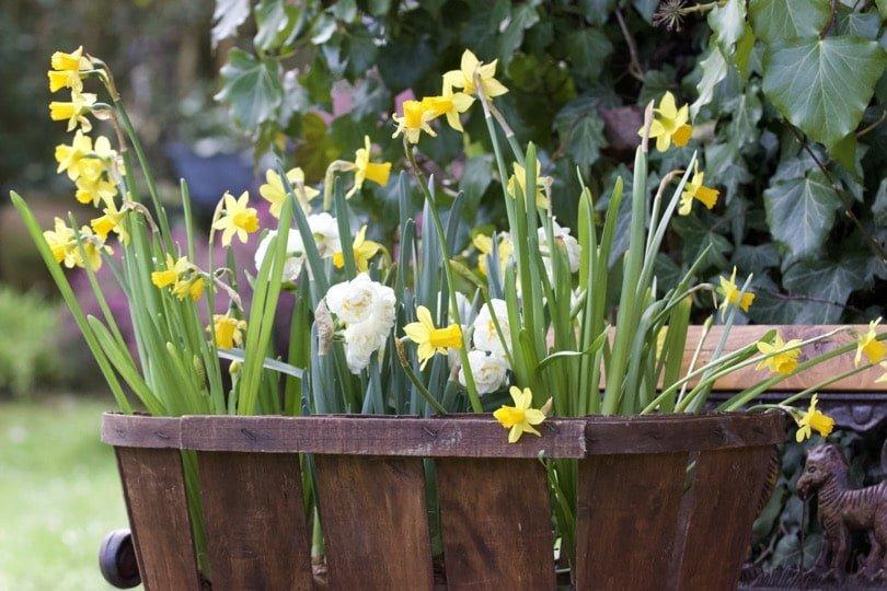 Narcisses au jardin au mois de mars 2018