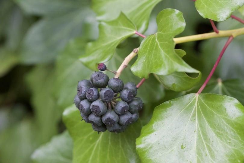 Fruits du lierre du jardin