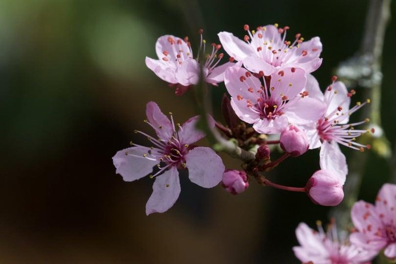 Prunus en fleurs, hiver 2018
