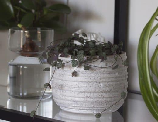 Mon ceropegia woodii sur mon étagère Ikéa