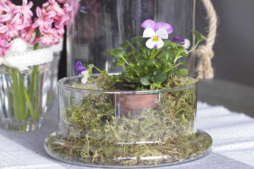 Des pensées pour un jardin sous verre pour Pâques
