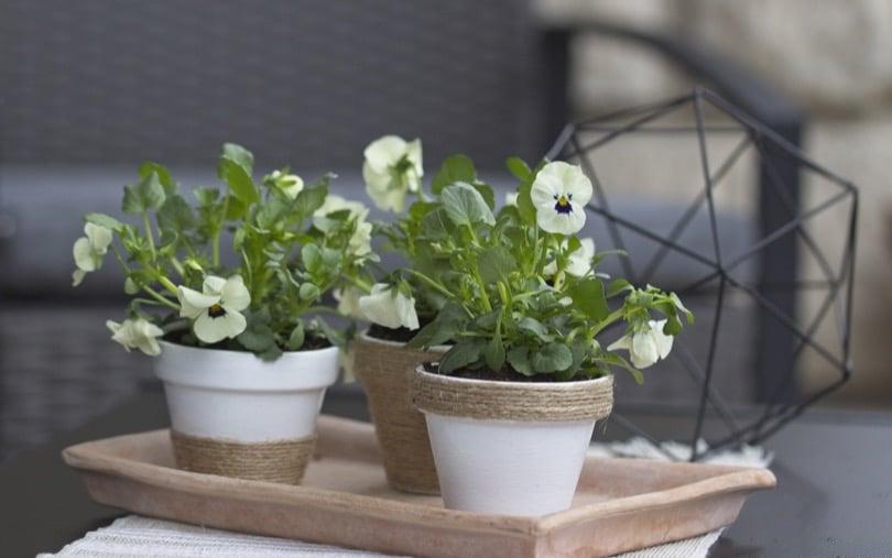 Petits pots pour le balcon avec des pensées