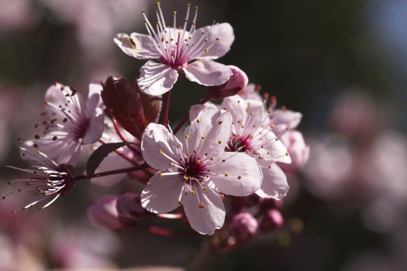 Floraison du prunus