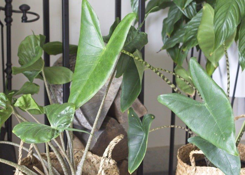 Alocasia zebrina et stingray