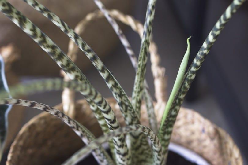 Bébé feuille d'alocasia zebrina
