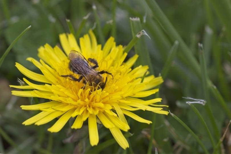 Une abeille dans un pissenlit au château d'Acquigny