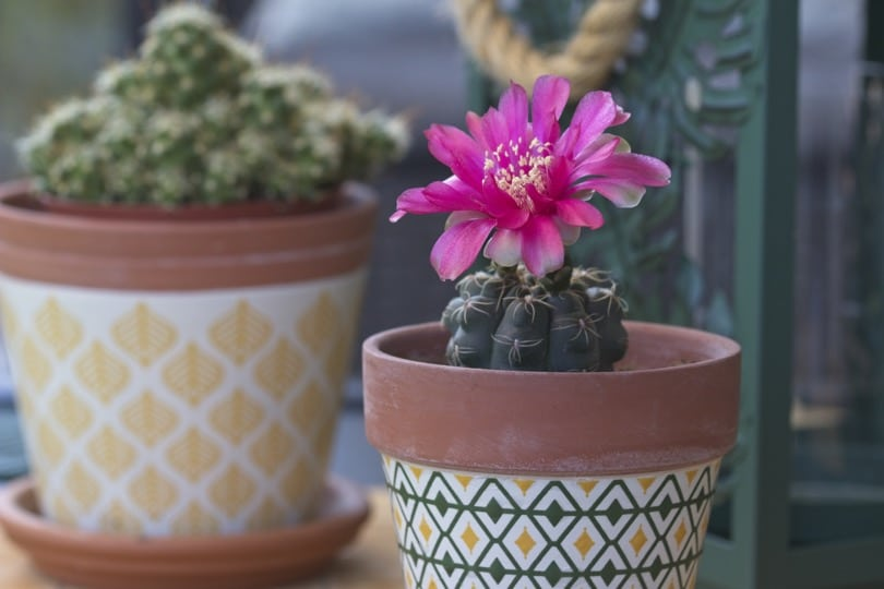 Cactus refleuri été 2018