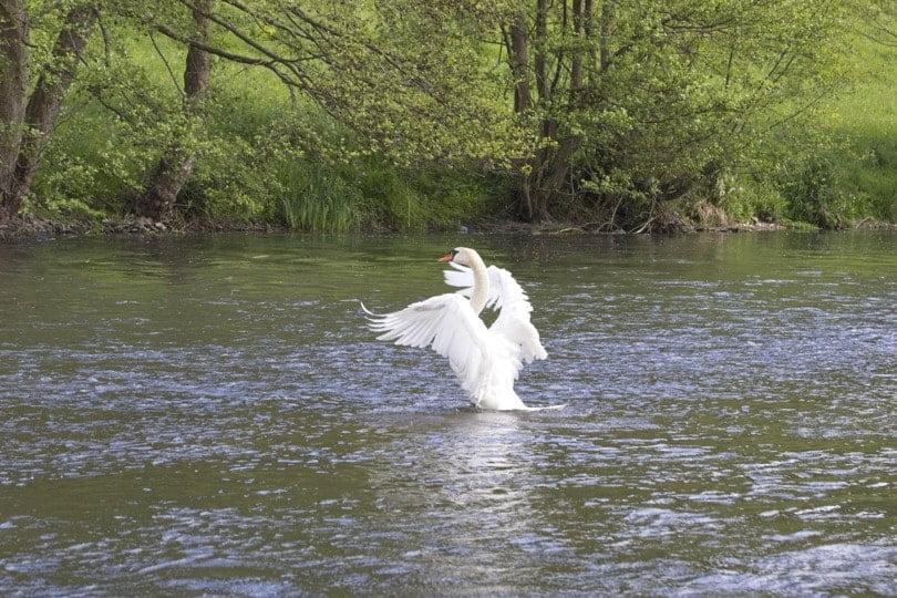 Cygne sur l'Eure au château d'Acquigny