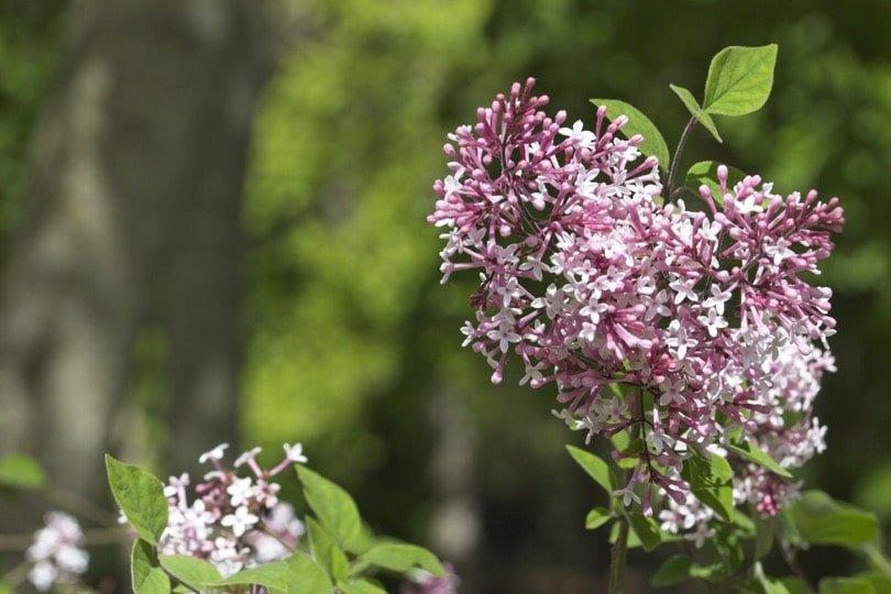 Lilas en fleurs au château d'Acquigny