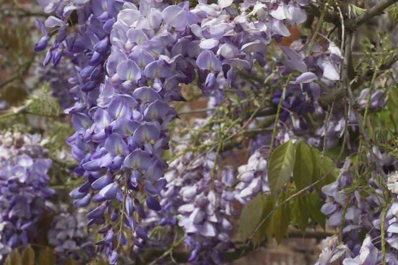 Glycine de l'orangerie du château d'Acquigny