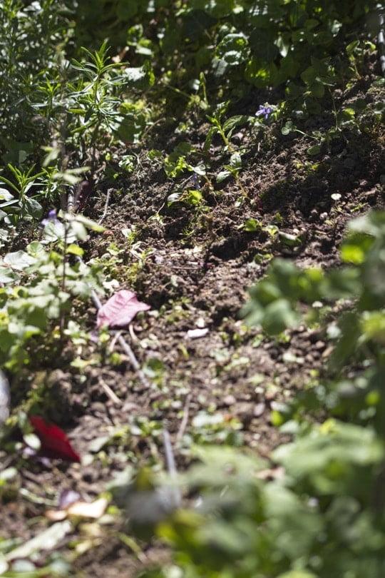 Densifier un massif de fleurs avec des ancolies.