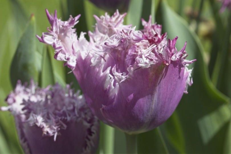 Tulipes du potager du château d'Acquigny