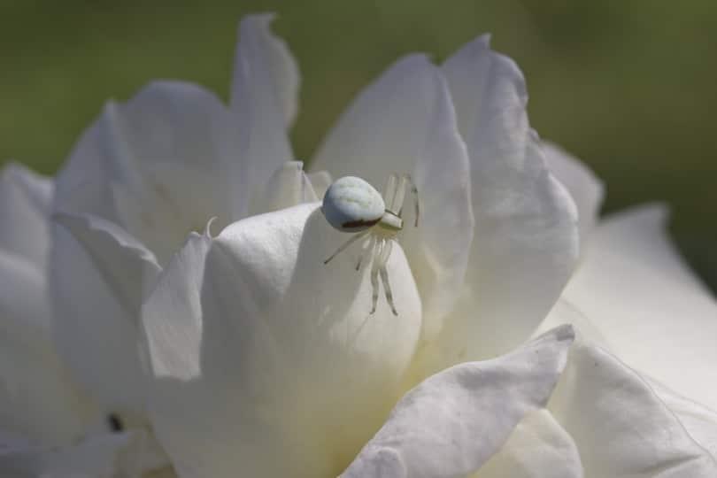 Araignée crabe dans mes roses