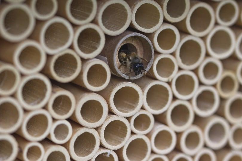 Petite abeille maçonne