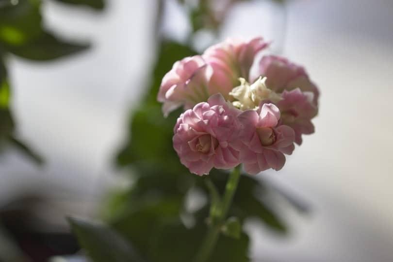 Floraison du kalanchoe