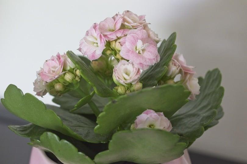 Le kalanchoe, une plante dépolluante et décorative