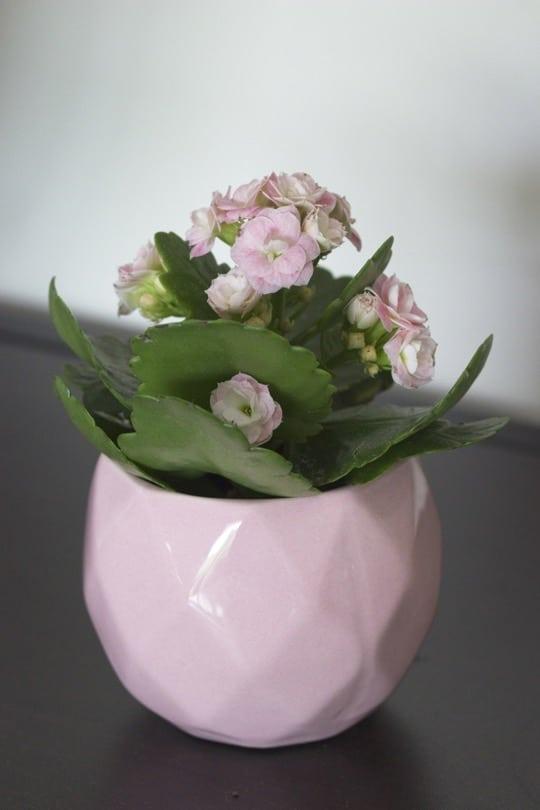 Le kalanchoe, un cadeau parfait, dépolluant et décoratif