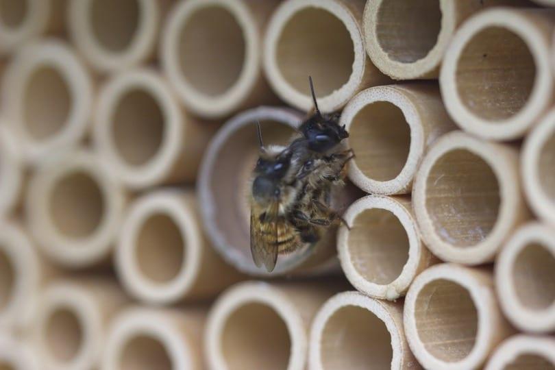 Accouplement d'abeilles solitaires, le mâle possède une touffe faciale blanche