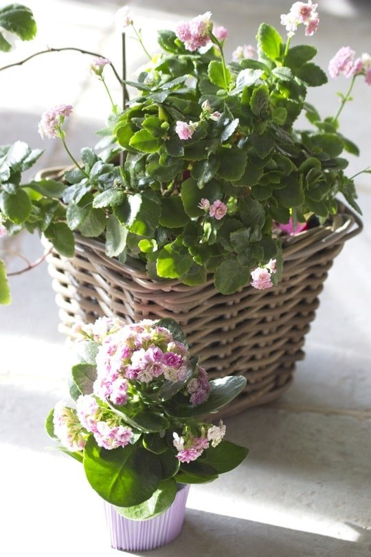 Le kalanchoe, une plante dépolluante