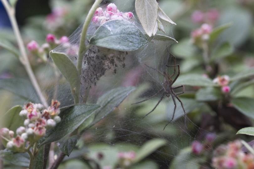 Araignée faisant son nid dans ma bruyère