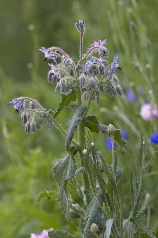 Bourrache dans ma petite prairie fleurie