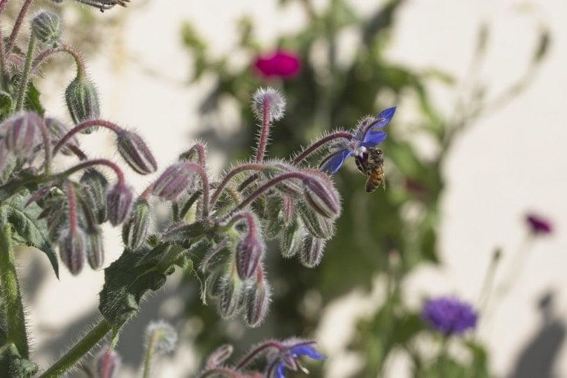 Bourrache et abeille dans la prairie fleurie