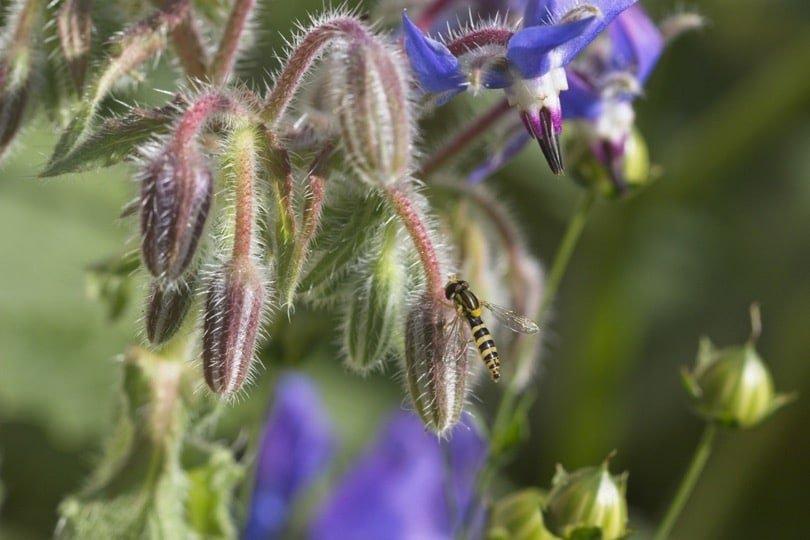 Syrphe sur fleur de bourrache