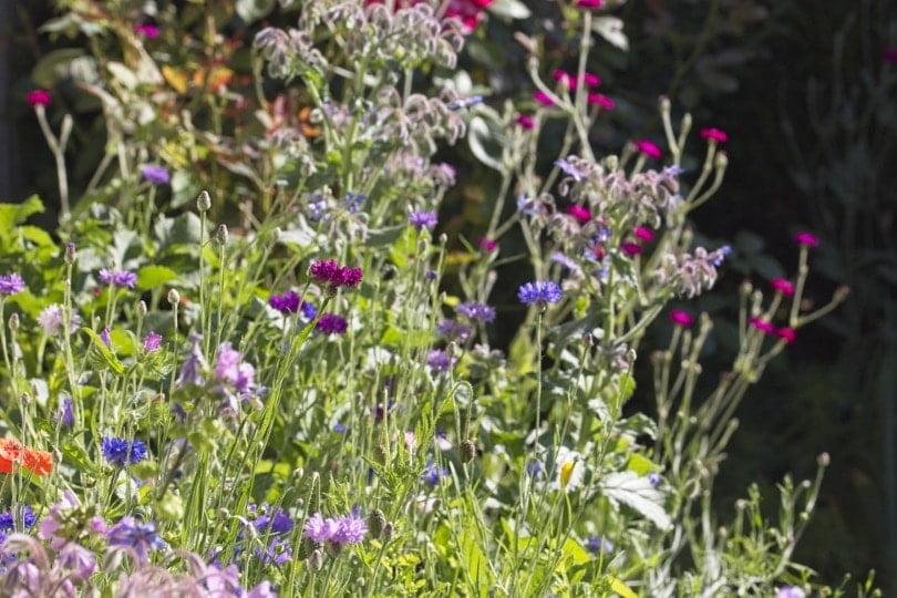 Une praiire fleurie pour attirer les insectes au jardin