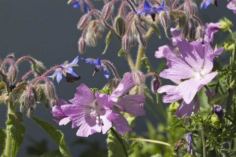 Mauves et bourrache de ma prairie fleurie