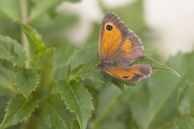 Un papillon Amaryllis sur une feuille de dahlia au jardin