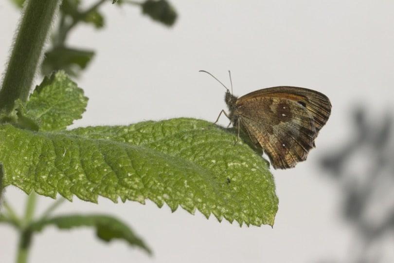 Un Amaryllis sur une feuille de menthe