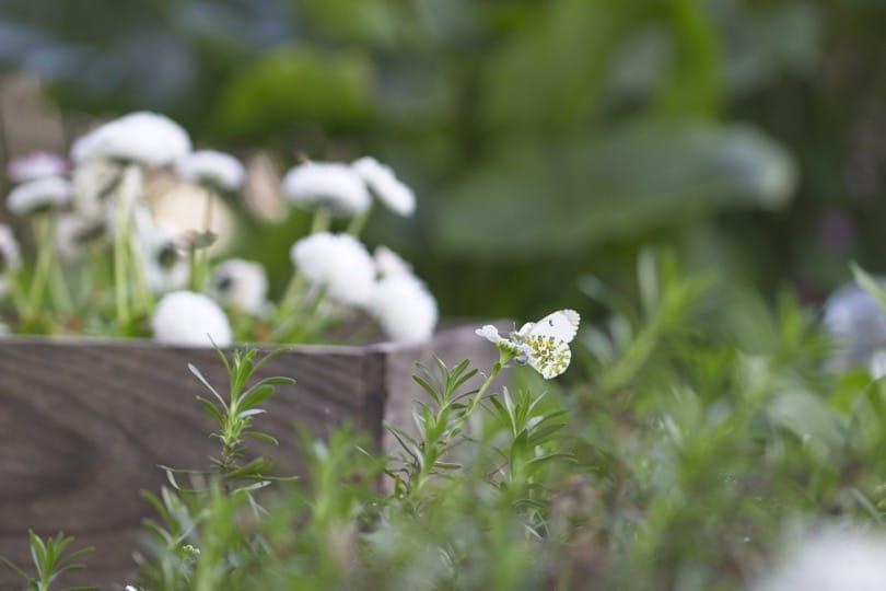 Papillon Aurore femelle au mois d'avril 2019