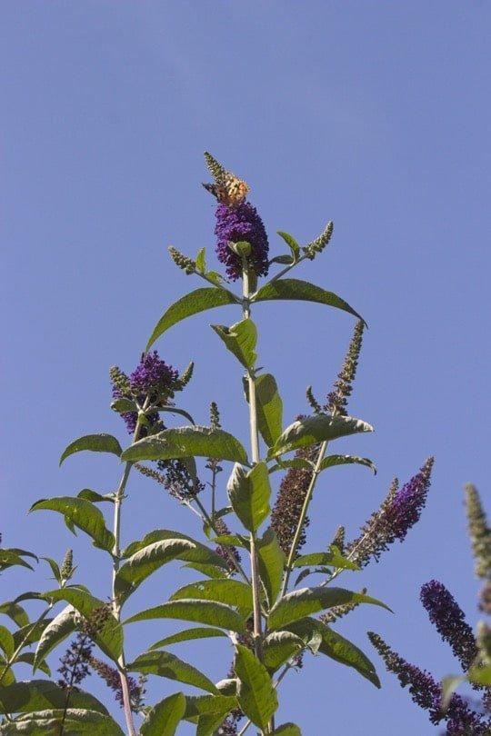 Belle-dame butinant les fleurs du buddleia