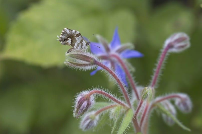 Brun du Pélargonium sur fleurs de bourrache