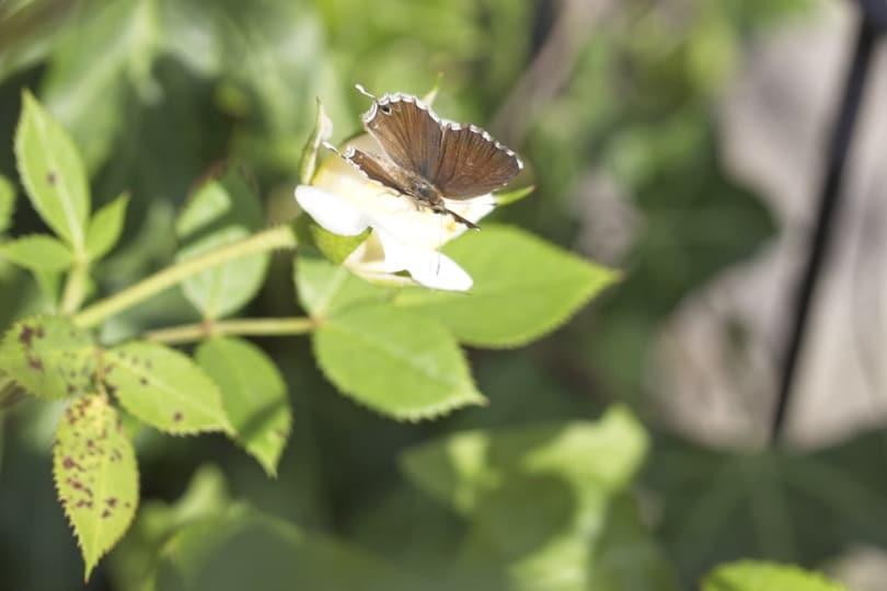 Brun du Pélargonium ailes ouvertes
