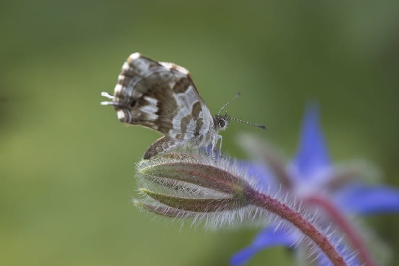 Description des ailes du Brun du Pélargonium