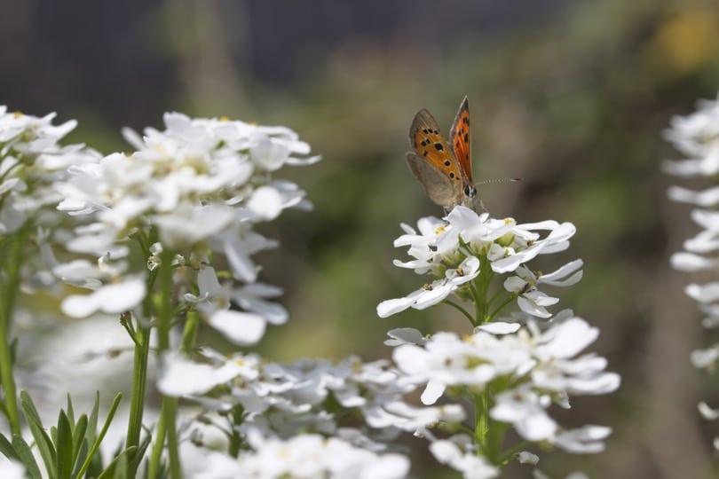 Papillon Cuivré commun au mois d'avril 2019