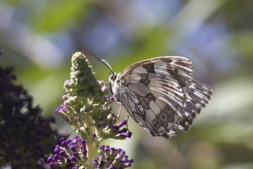 Demi-deuil sur fleurs de buddleia